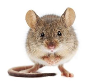 main_house-mouse-mus-musculus